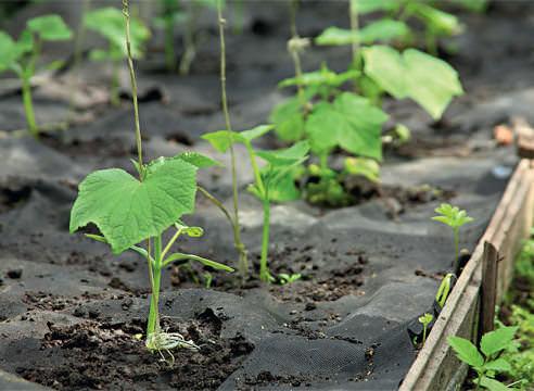 Опытные огородники рекомендуют сажать огурцы по лунному календарю