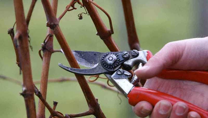 Обрезать виноградник необходимо тогда, когда весь урожай уже собран, а листва полностью опала