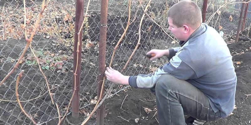 Осенью производят очередное формирование куста винограда, чтобы придать ему правильную форму