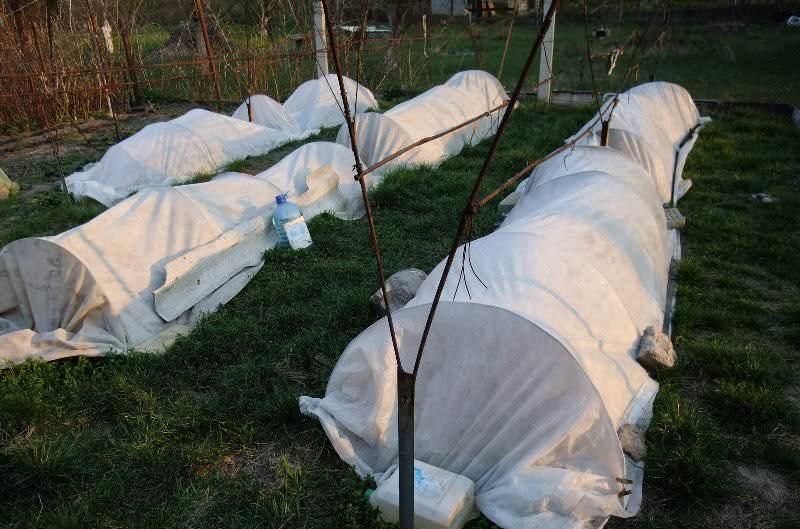 Правильное формирование виноградных кустов позволяет осенью пригибать их к земле, но не ломать, и укрывать слоем перегноя или почвы на зиму