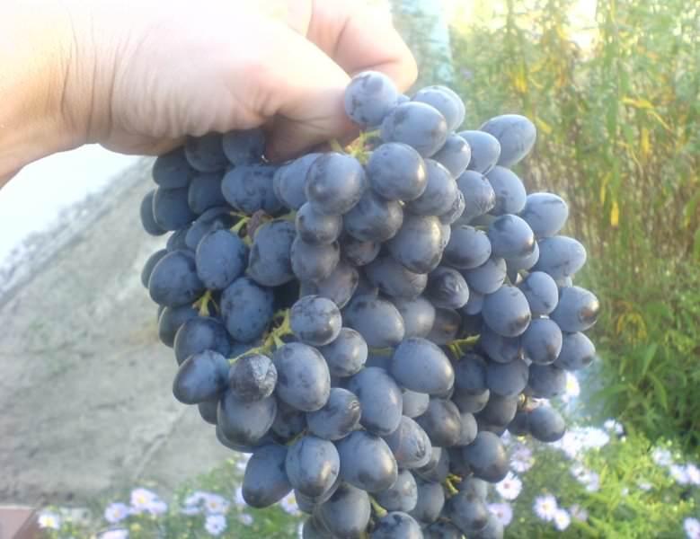 Срезать кисти с небольшой частью побега, чтобы можно было подвешивать грозди для их дальнейшего хранения