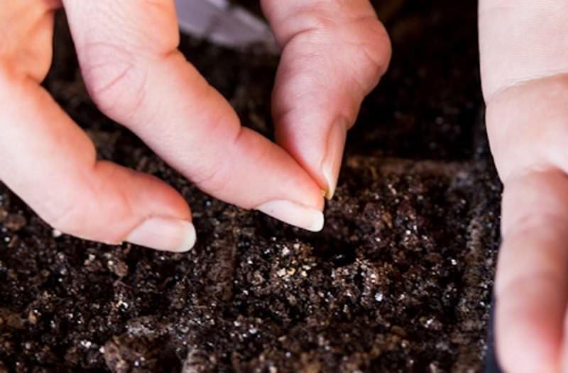 Для того чтобы семена баклажанов проросли, необходима температура не менее 25 °C, а также важен уровень влажности