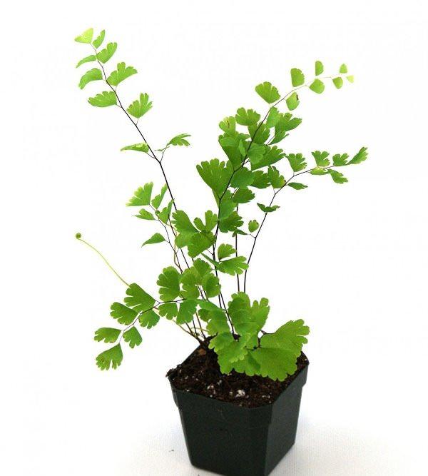 Адиантум в домашних условиях размножают спорами и делением корней