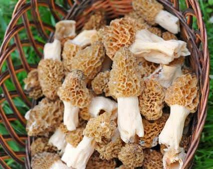 Каждый год весенние съедобные грибы появляются в разное время