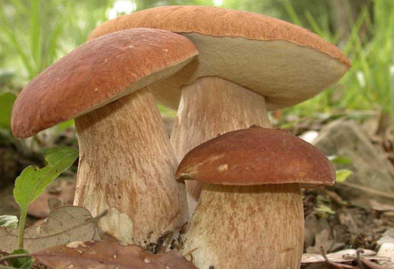 В условиях черноземья съедобные грибы можно встретить в середине мая