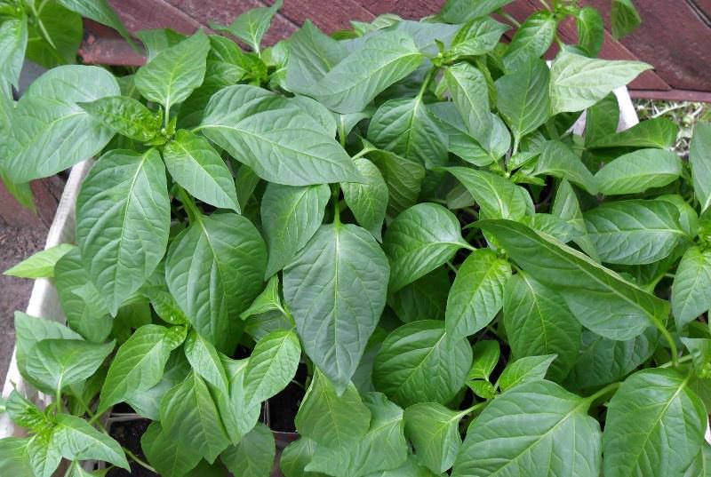 Рассаду следует высаживать в теплицу тогда, когда земля в ней прогреется до 15 °C