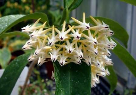 Хойя — это цветущая лиана, которая чаще всего выращивается в комнатных условиях