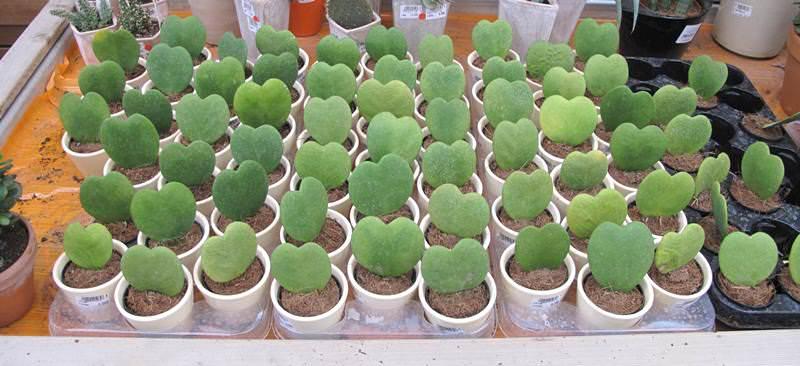 Молодые лианы нужно пересаживать ежегодно, лучше всего сделать это весной
