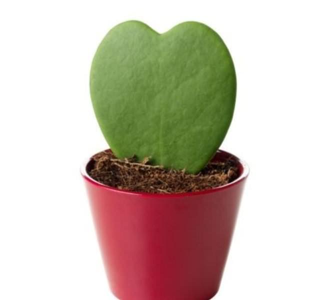 В домашних условиях также можно вырастить хойю листом
