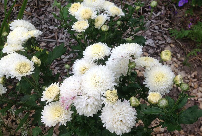 Большинство сортов хризантем зимуют в открытом грунте