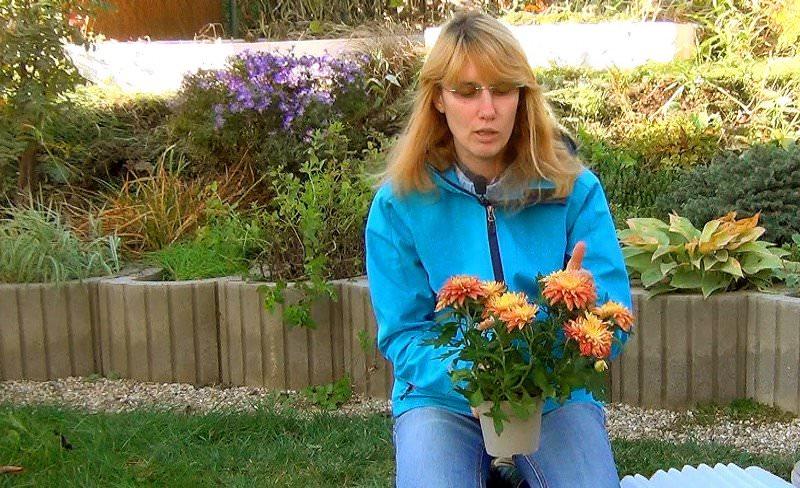 Среди сортов хризантем, зимующих в открытом грунте, высокой морозоустойчивостью отличаются корейские хризантемы и гибриды российской селекции