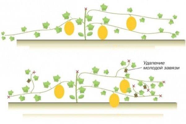 Когда начинается созревание плодов, то следует удалять лишнюю листву, оставляя всего по нескольку листиков над каждым плодом