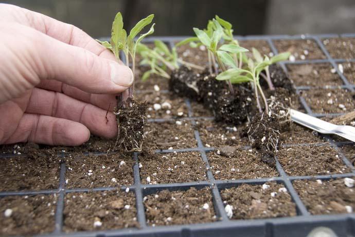 Каждое растеньице следует пересадить в отдельные емкости, предварительно добавив в грунт специальное удобрение