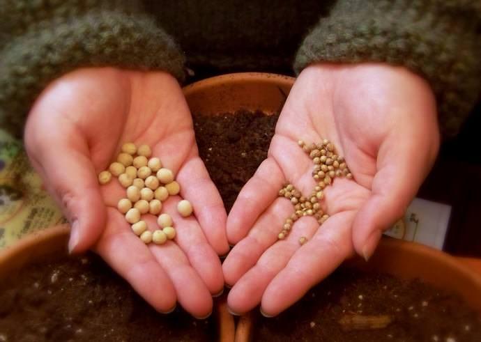 После каждой фазы семена нужно просушивать до сыпучести