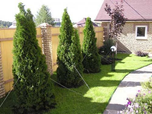 Пересадка крупномерных деревьев в корне отличается от посадки и пересадки саженцев