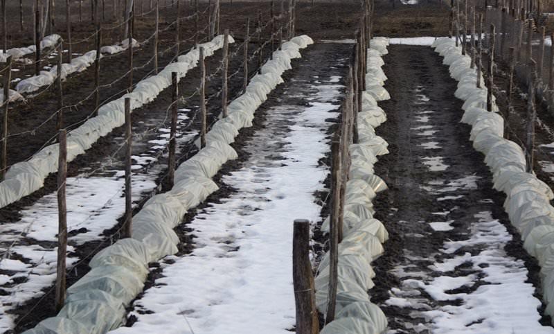 После всех манипуляций по уходу, подкормке, обрезке, зимнего укрытия и весеннего ухода остается только ожидать распускания винограда, мощного куста и ярких, сладких, больших гроздьев