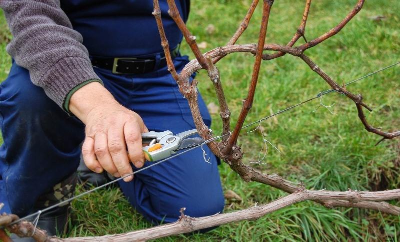 Ухаживать за виноградом надо осенью, основные этапы - это подкармливание, полив, обрезка, профилактика болезней и паразитов, а также укрытие зимой кустов винограда