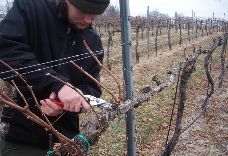 Процедура обрезки приводит к омоложению куста и увеличению урожая, ягоды становятся крупнее, а гроздья богаче