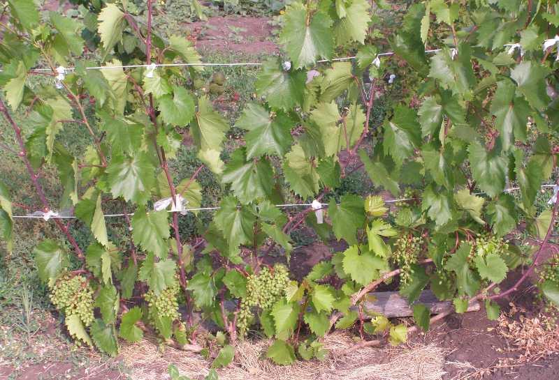 Получить замечательный урожай этого растения в тяжелых климатических условиях не так просто