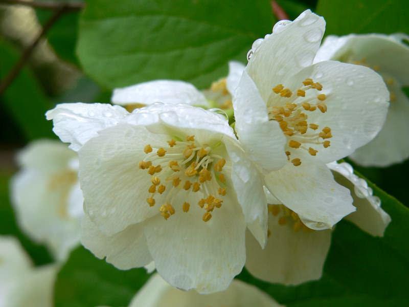 Крупноцветковый жасмин является теплолюбивым растением, выращивать его можно только в районах с влажным субтропическим климатом
