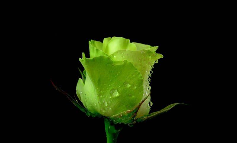 Зеленые розы настолько необычны, что будут украшением любой клумбы