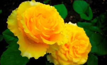 Желтые розы сравнительно неприхотливы благодаря стараниям селекционеров