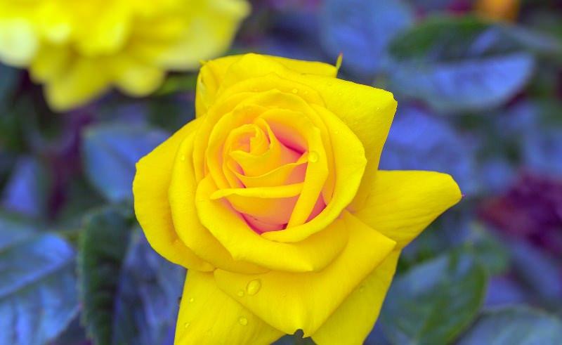 Цветок золотого оттенка чаще всего ассоциируется у людей с разлукой