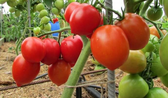 Срок вызревания томатов Буденовка – среднеранний, составляет 98−110 дней