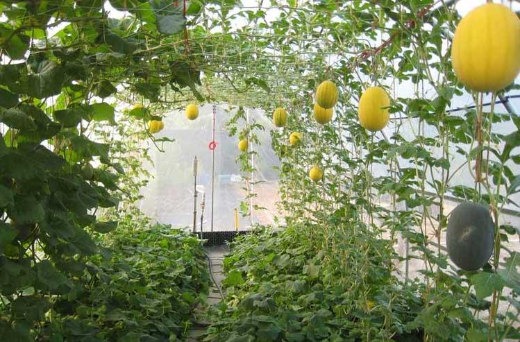 Оптимальный срок для выращивания культура составляет два с половиной месяца
