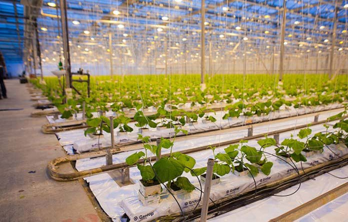 Чтобы минимизировать потери урожая и уберечь огурцы от влияния поздних заморозков, необходимо выполнять дополнительное укрытие растений плёнкой