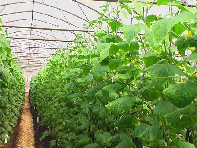 Вырастить огурцы своими руками непросто, придется следить за температурой не только воздуха, но и почвы