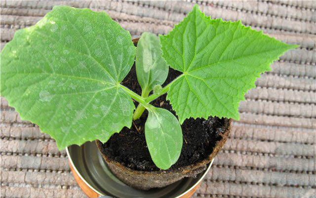 Увеличить урожайность поможет соблюдение правила – ни одно из растений не любит, когда его пересаживают, поэтому семена заранее следует поместить в торфяные горшочки