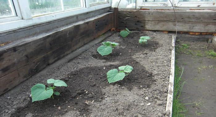 При неблагоприятных климатических условиях и в северных районах сажать огурцы необходимо хорошо сформировавшейся и крепкой рассадой