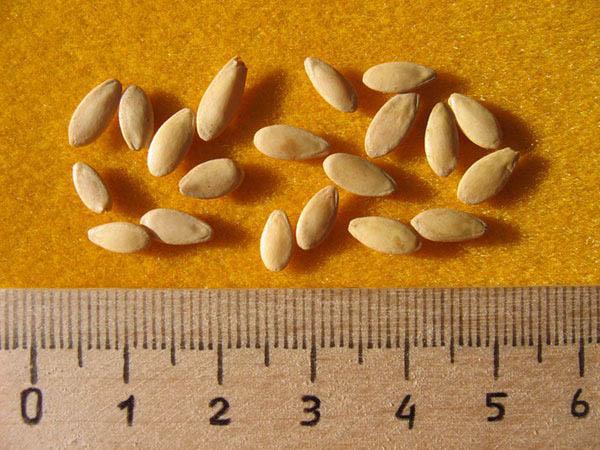 Хорошие семена не могут стоить дешево - за тысячу качественных семян придется отдать около 1500 руб