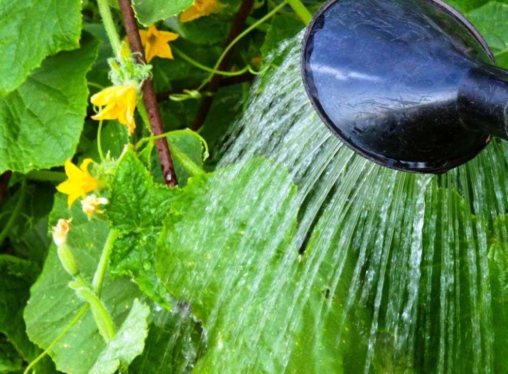 Тепличные огурцы нуждаются в достаточно обильных поливах тёплой водой, а особенно важно увеличить объём оросительных мероприятий на этапе активного плодоношения