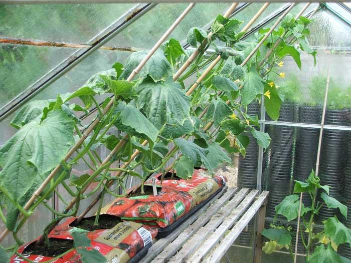 Первоочередной задачей становится поддержание чистоты в теплице и выполнение профилактических мероприятий, которые не позволят растениям заразиться каким-либо заболеванием, негативно влияющим на урожайность этой овощной культуры