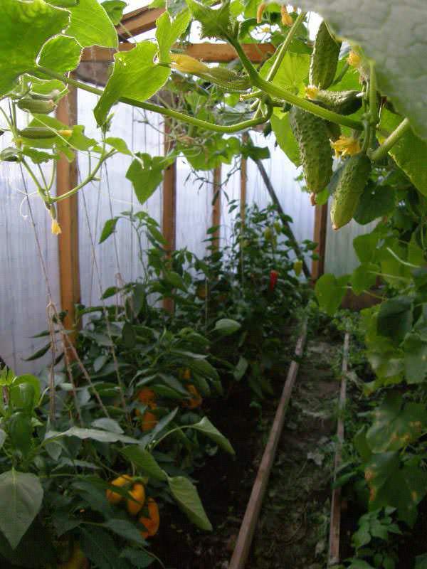 Перец и огурец –  наиболее популярные овощи в теплице большинства российских огородников