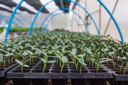 Рассаду огурцов необходимо выращивать при температуре в двадцать два градуса, с постепенным повышением её на шесть градусов