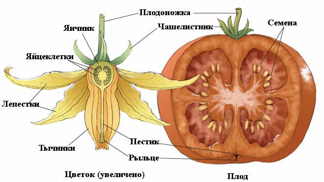 На помидорах всегда производится значительное количество пыльцы, которая способствует опылению собственных цветков и соцветий на соседних растениях