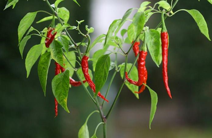 Выращивание такого растения, как перец чили, требует не только внимания и некоторых знаний, но и учёта характеристик сорта