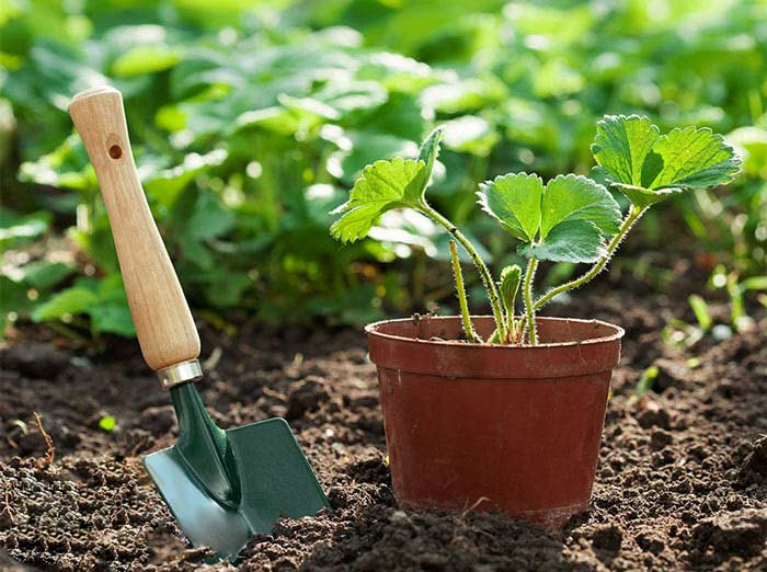 Стандартный световой день для растения составляет около 16 часов, при соблюдении такой продолжительности получить первые ягоды можно будет уже через месяц