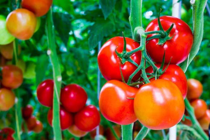 Мясистые сорта помидор для выращивания на территории Сибири являются результатом кропотливой селекции и идеально подходят для переработки