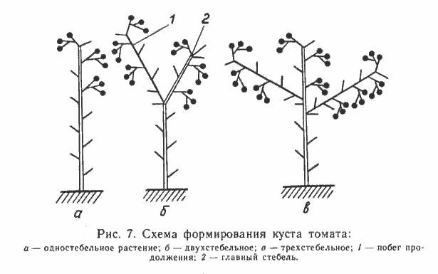 Специалистами различаются три различных по технике исполнения способа, позволяющих правильно сформировать стебель томата
