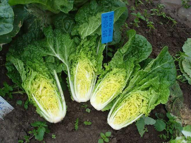 Выращивание пекинской капусты получило широкое распространение среди овощеводов-любителей