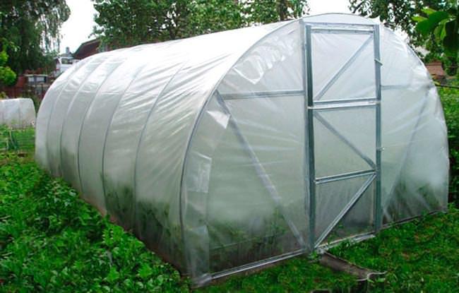 В плёночных теплицах семена осенних сортов высевают в начале августа
