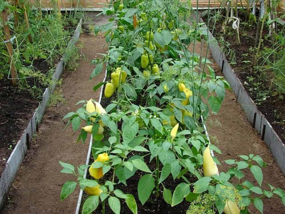 Перец относится к числу очень светолюбивых овощных культур и плодоносит при продолжительности светового дня на уровне четырнадцати часов