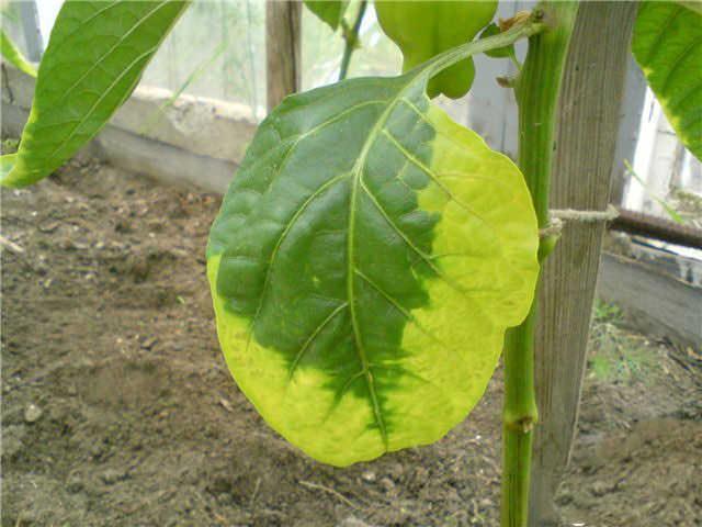Любые нарушения внешнего вида растения, включая пожелтение или увядание листьев тепличных растений, чаще всего становятся сигналом неправильного ухода или пренебрежение основными профилактическими мероприятиями