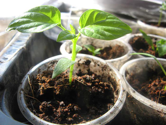 Высадка рассадного материала перца в тепличный грунт проводится по достижении растением высоты порядка двадцати сантиметров и при наличии восьми настоящих листочков