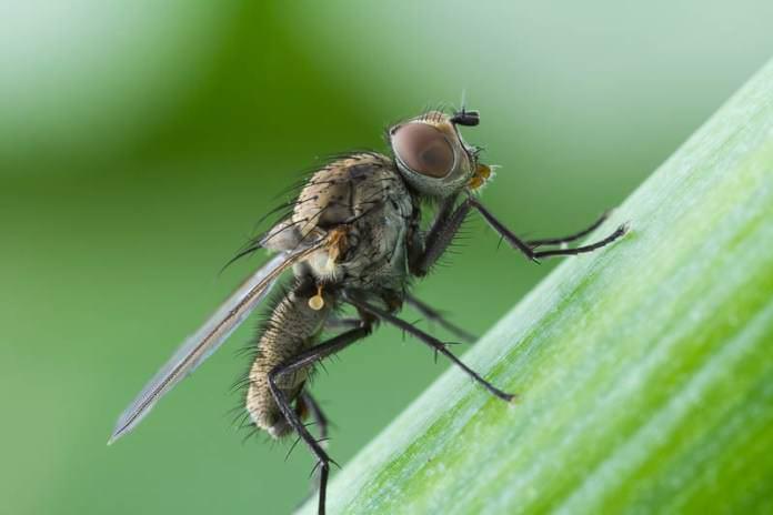 Осуществляя выращивание лука-порея, можно столкнуться с луковой мухой
