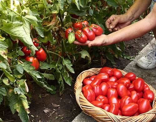 Для богатого урожая томатов, важно правильно определить сроки высаживания рассады